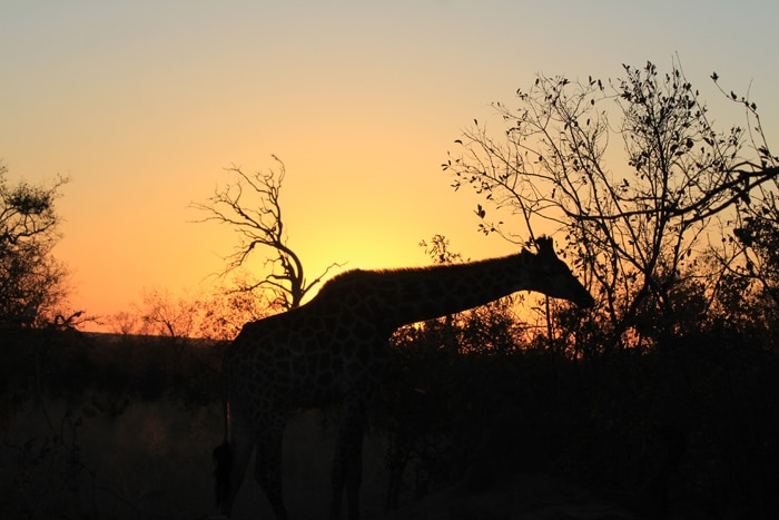 andBeyond Ngala Giraffe silhouette at sunrise