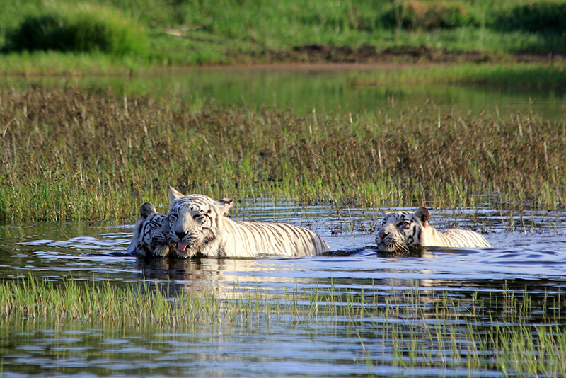 TiBo and her cubs going for a swim. It is a well-known fact that tigers love water, and these ones are no exception.