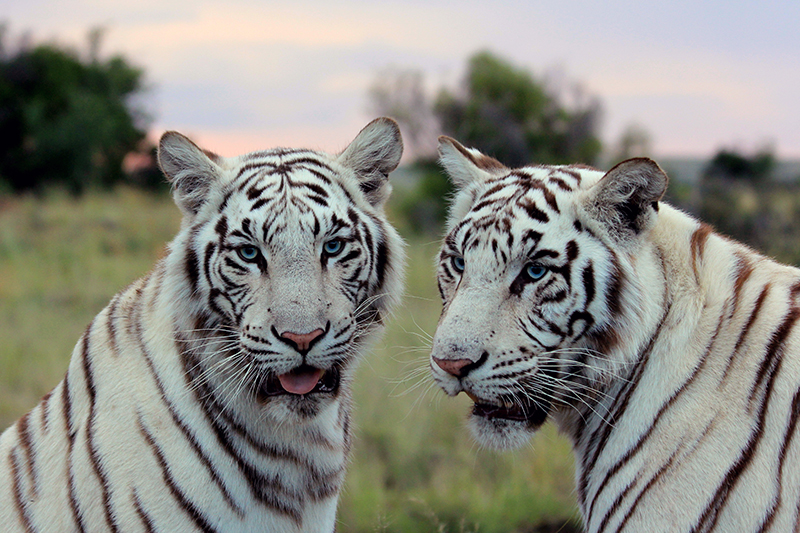 TiBo has three cubs, two white and one orange. Tiger Canyon