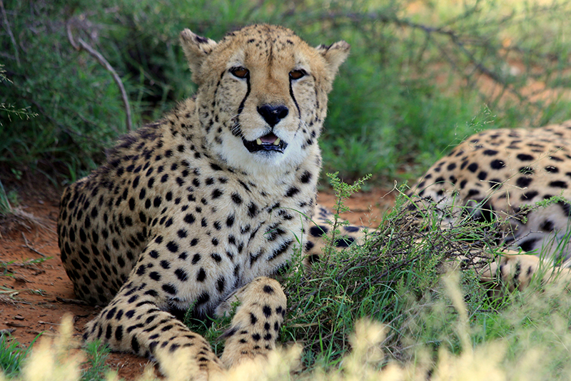 Two beautiful cheetah brothers resting in the shade of a bush. This is Rhundi.