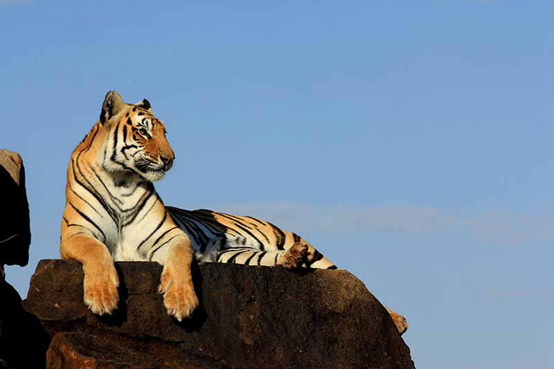 Ussuri on a rock in the early morning sunshine, taking a breather after a walkabout.