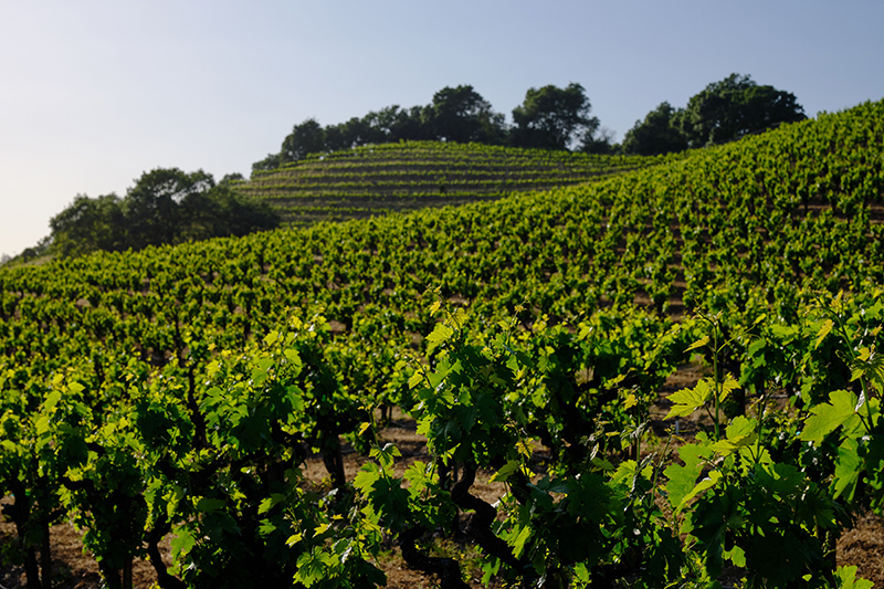 pedroncelli vineyard in Sonoma Wine County