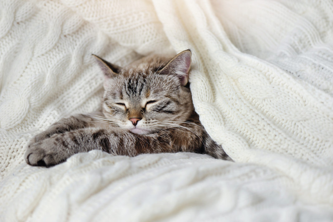 Sleeping grey cat under the white knitted blanket